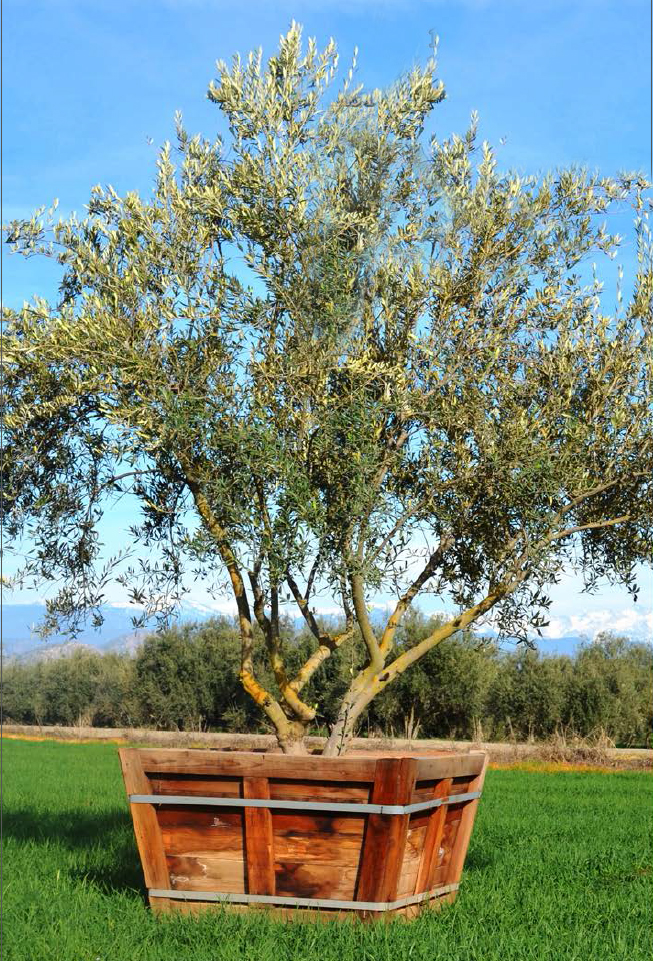OLIVE TREES: Facts And Romance